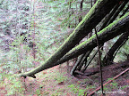 A couple of tall redwoods that had fallen over the trail. We had to go under these.