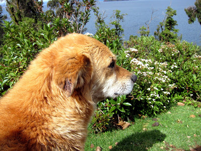 Dog on the Isla del Sol on Lake Titicaca in Bolivia