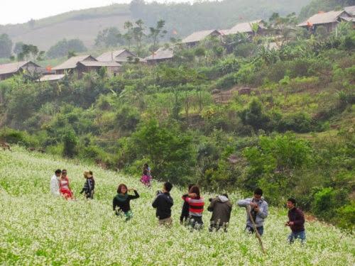 thang 11 o moc chau hoa cai trang no ro1 Tháng 11 ở Mộc Châu – Hoa cải trắng nở rộ.
