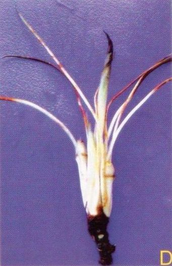 Криптокорина Сивадасана (Cryptocoryne sivadasanii)