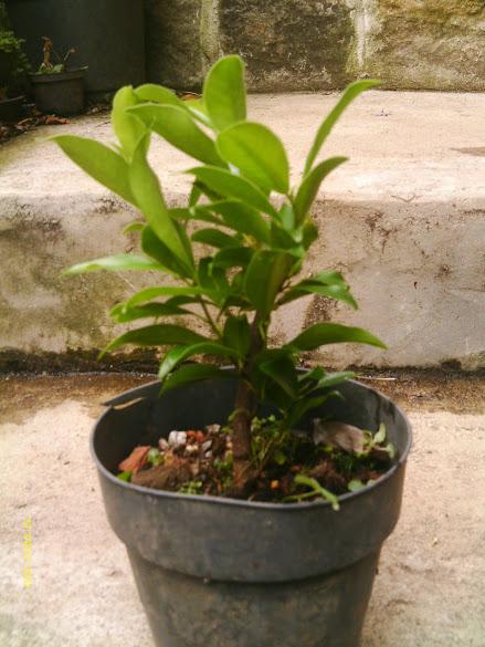 Ficus Microcarpa, finalização Rapida... IMAG0167