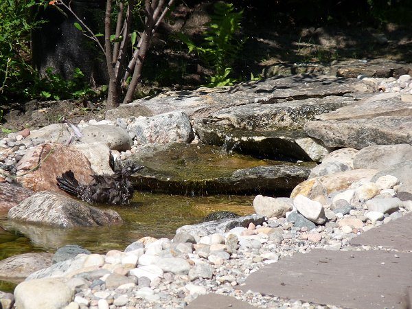 female Grackle bathing
