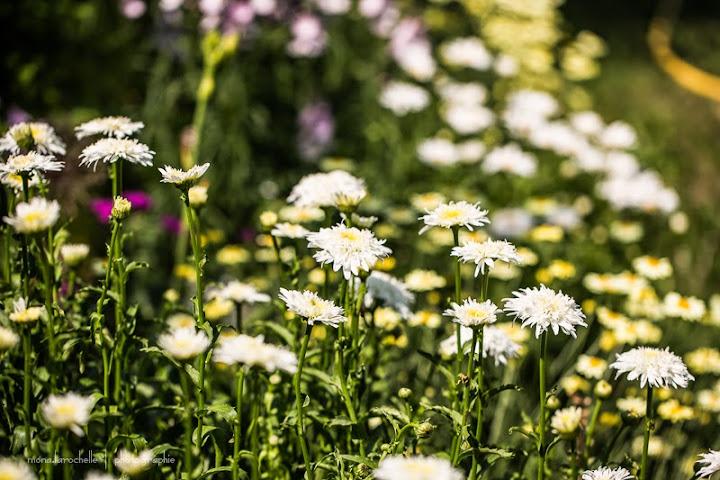 Leucanthemum Fiona Coghill Leucanthemum-fiona-coghill-130717-17rm
