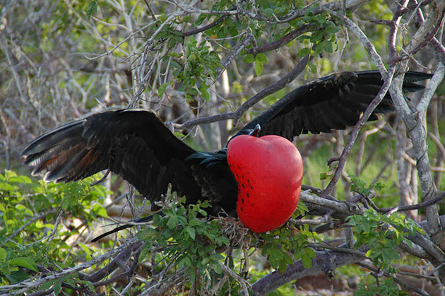 Male Frigatebird on San Cristobal