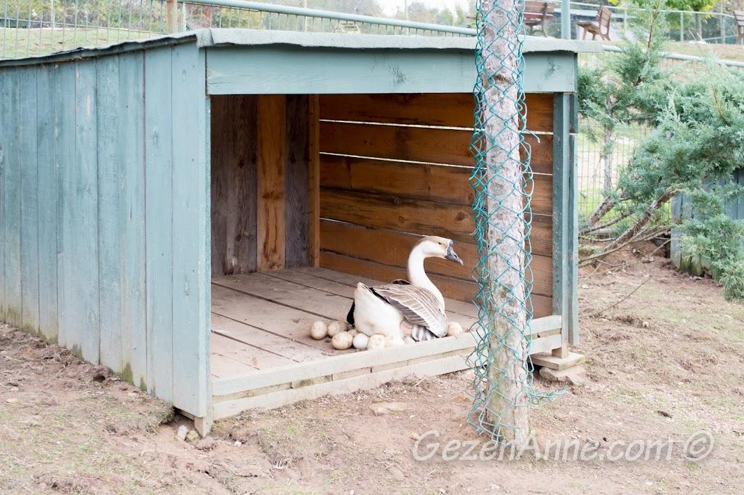 Piknik Park'taki ördek