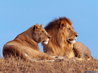 Best Lion And Lioness Wallpapers - Free Lion And Lioness Wallpapers