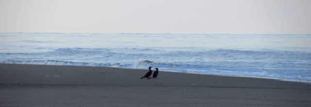 a couple black birds on the beach