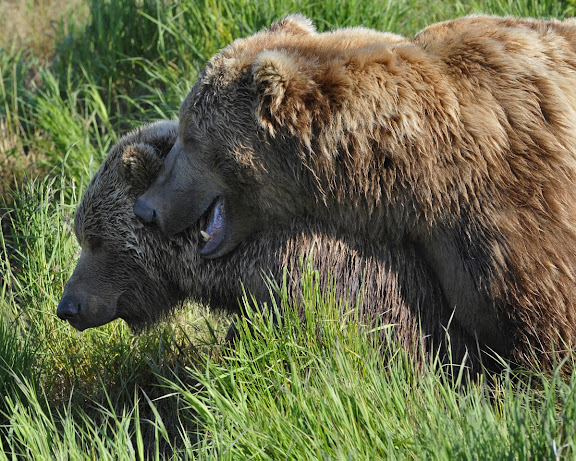 Grizzly bears courting (Endangered Species Act)
