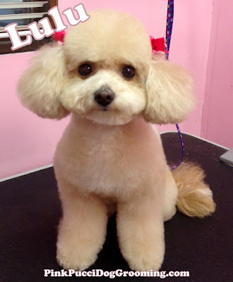 Lulu the Toy Poodle!