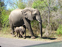 A mother elephant with a TINY baby elephant! This is the smallest baby elephant we've seen yet. I guess it's the season of babies!