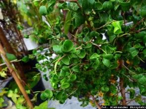 Figowiec benjamiński Ficus benjamina 'Barok'