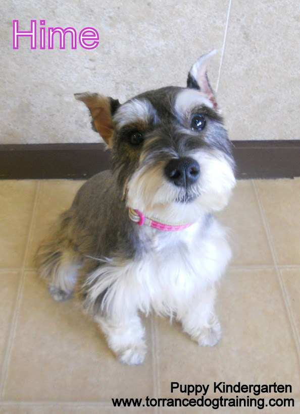 Hime the 8 month old Miniature Schnauzer