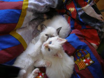 Boksekamp i dynen. Cosmo øverst, så Cato og nederst ligger Casmir (med poterne i vejret). Knap 7 uger gl.