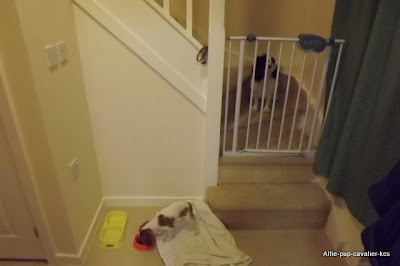 Stair gate stops dogs too