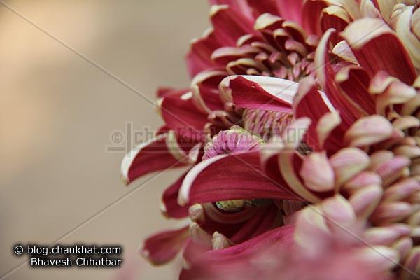 Chrysanthemum flower - Guldaudi flower