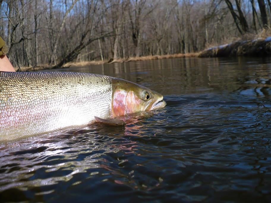 steelhead fishing guide trips pere marquette river