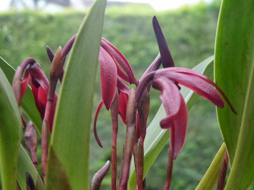 Maxillaria calantha P1370114