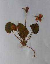 Fiołek w zielniku dried viola