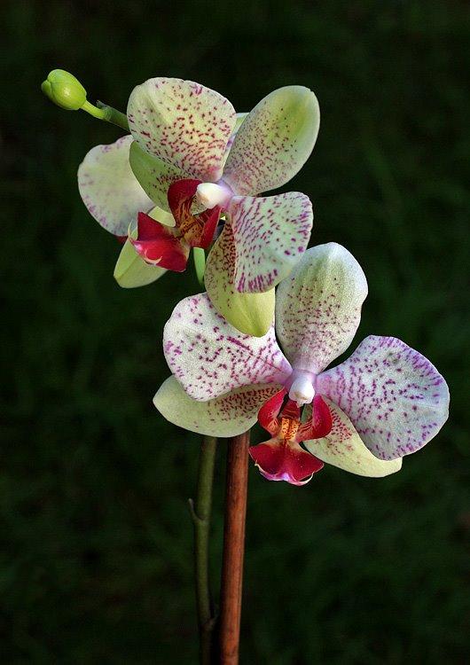 Grande plano de uma orquídea branca com pintas vermelhas, suportada por uma estaca de madeira. Fundo verde desfocado