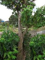 Kỹ thuật trồng cây khế