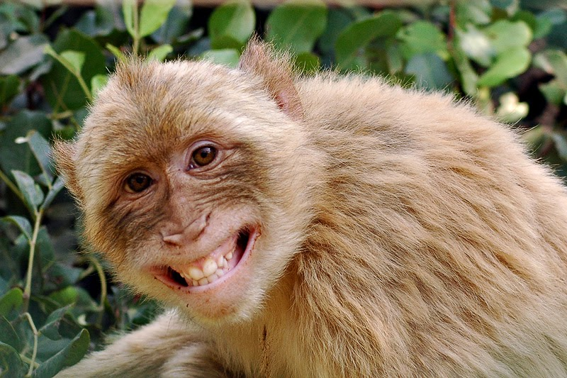 Image result for monkey grinning