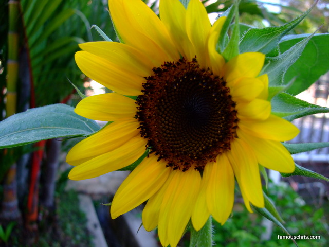 full bloom sunflower