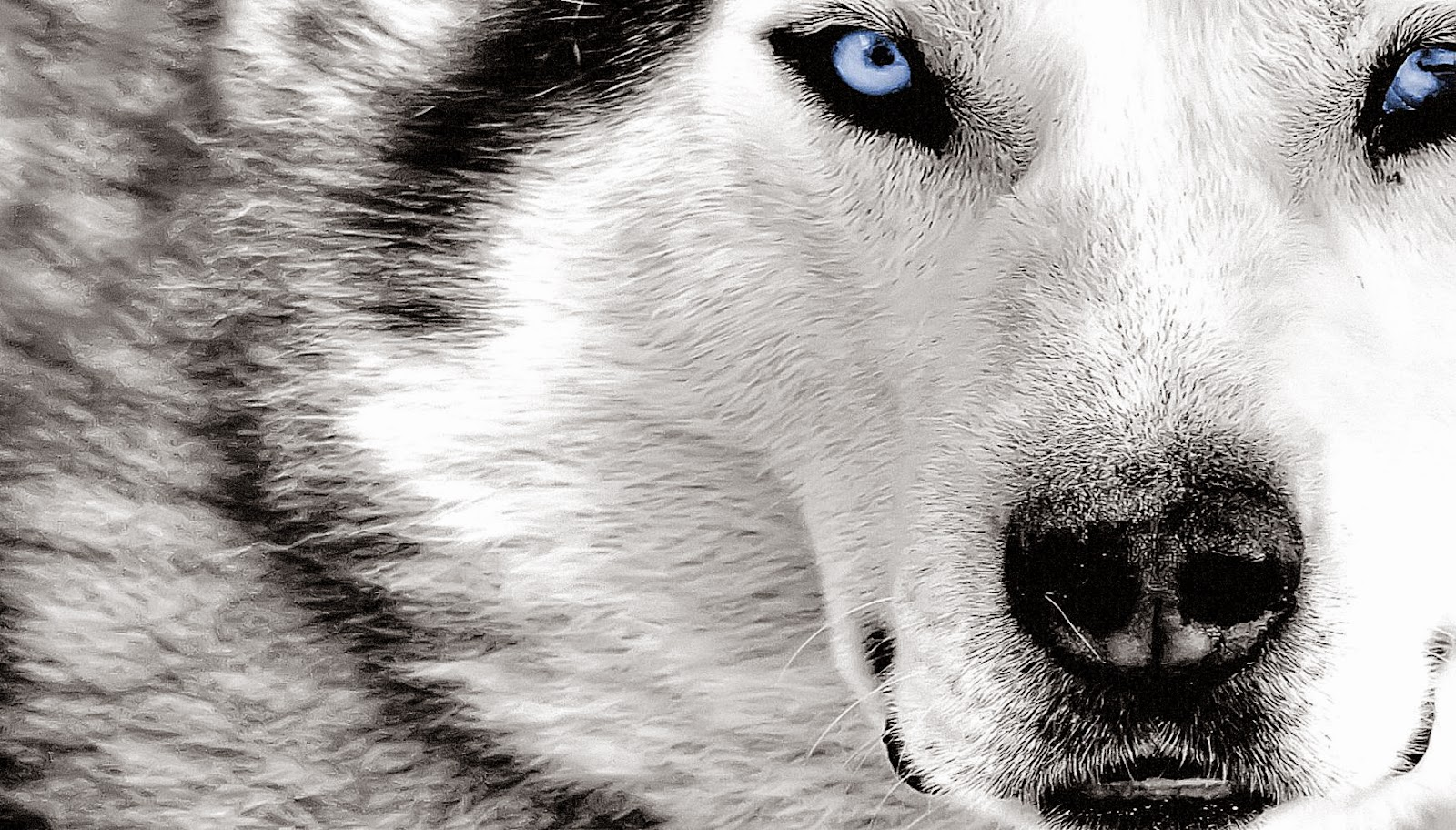 Wolf HD Wallpapers  fbpapa