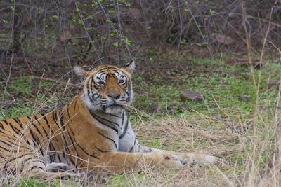Foto del tigre en el parque natural de Ranthambore