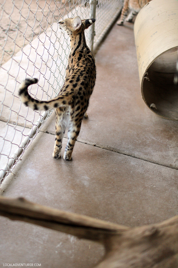 African Serval Cat Pictures.