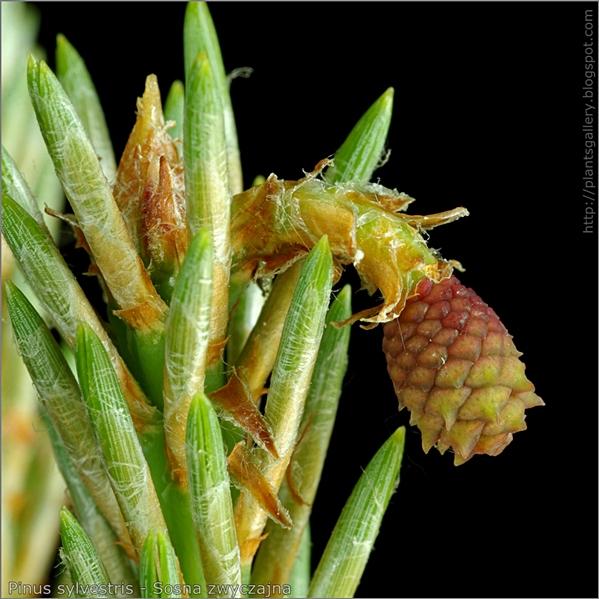 Pinus sylvestris female flower - Sosna zwyczajna kwiat żeński