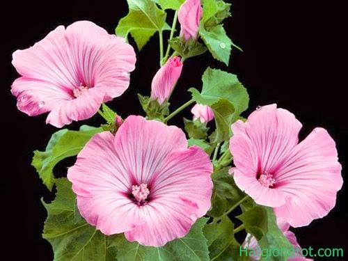 Hạt hoa cẩm quỳ