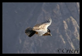 Un mois aux pays des Incas, lamas et condors (Pérou-Bolivie) Condor