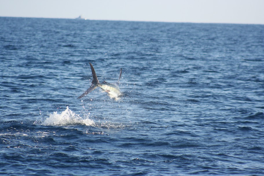 Jumping Marlin fish
