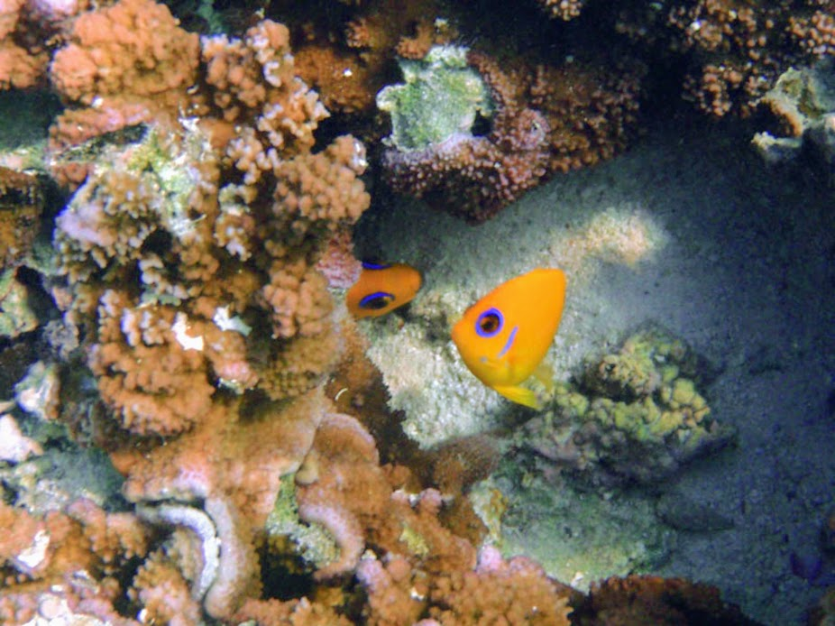 Centropyge flavissima (Lemonpeel Angelfish), Aitutaki.