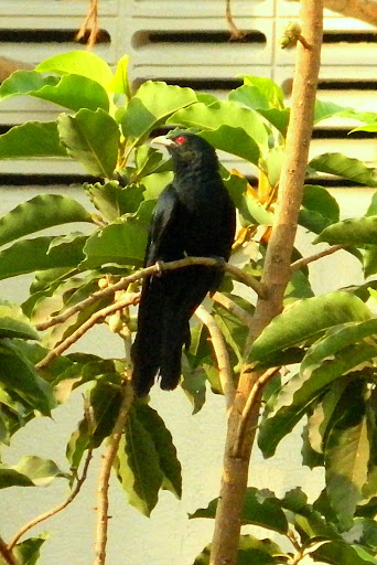 Asian Koel in Mumbai