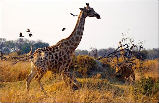 Unexpected danger in Kanana Camp, Botswana.jpg
