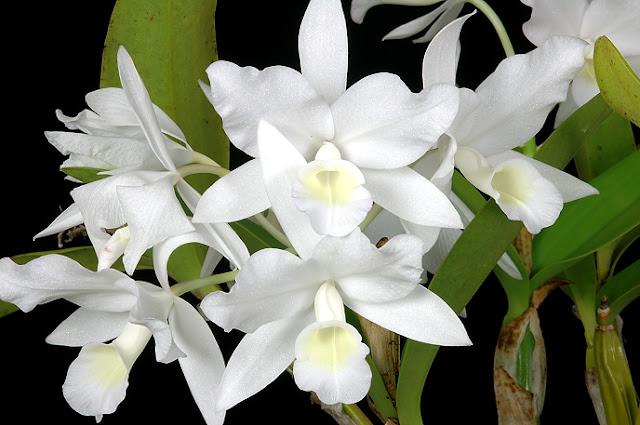 Растения из Тюмени. Краткий обзор - Страница 2 57555458_C_skinneri_1e