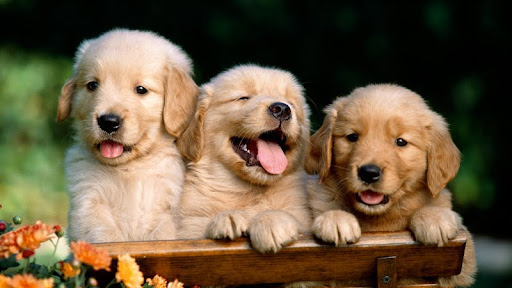 Friends Forever, Golden Retriever Puppies.jpg