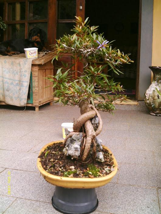 Ficus Nerifolia, Uma raiz de 3 anos... - Página 2 IMAG0206