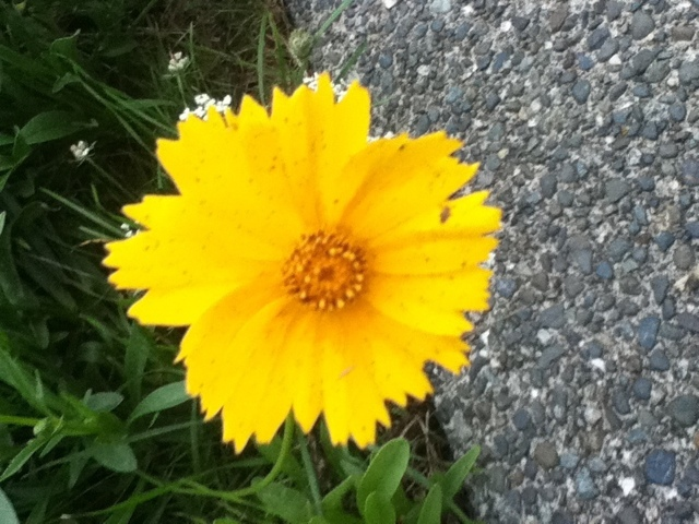 Yellow daisy in late summer blooms beside the street
