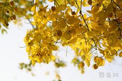 [台南-花木] 2011 府城阿勃勒