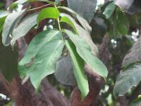 https://lh6.googleusercontent.com/-GDPa3V_Q0BM/T3lvGCU47aI/AAAAAAAAAOw/l6-iCCk4EQs/s1600/ZZ+Unknown+081+Tree+-+Leaf.jpg