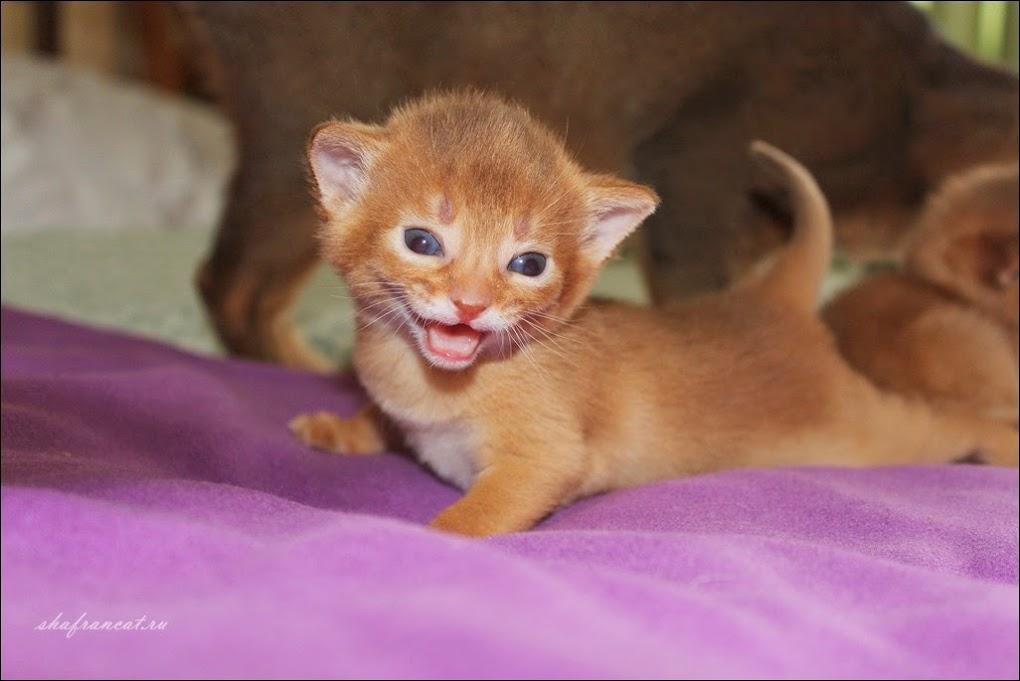 Shafran Tin Hinan абиссинский котенок