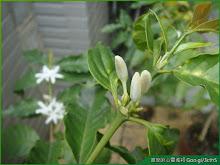 咖啡樹花花苞