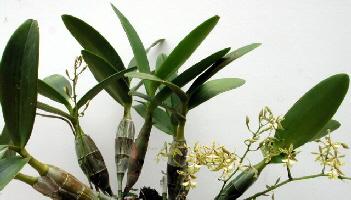 Растения из Тюмени. Краткий обзор - Страница 3 A_Epidendrum_stamfordianum_1