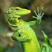 Видеть во сне зеленую ящерицу