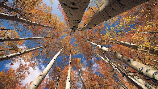 View From Below in an Aspen Grove.jpg