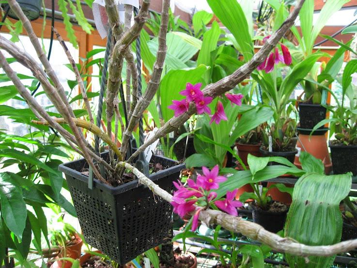 Dendrobium miyakei (vendu pour Dendrobium Usitae Red Coral) Dendrobium%2BUsitae%2B2%2Bmoi