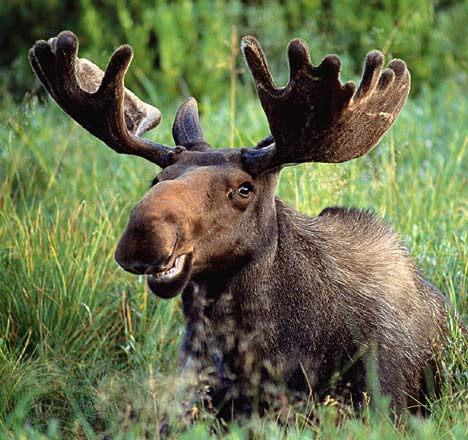 The Moose Animal Biography The Animals Biography