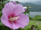 夏の花「ムクゲ」 2012-08-28T11:21:17.000Z
